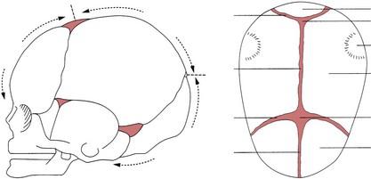 Fetal Skull Diagram Blank - Wire Management & Wiring Diagram on