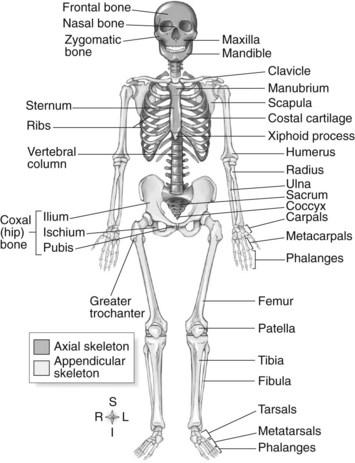 Skeletal System Nurse Key