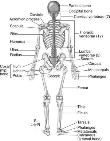 skeletal system | nurse key, Skeleton