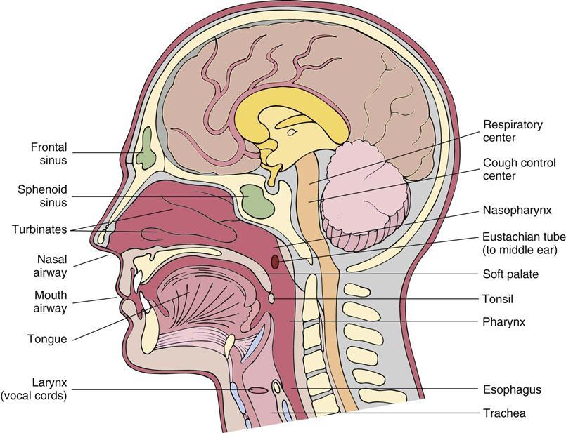 30. Drugs Used to Treat Upper Respiratory Disease   Nurse Key