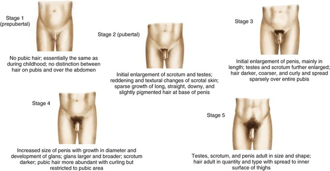 Penis growth during body hair growth