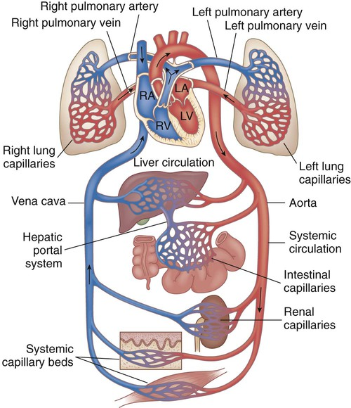 Cardiovascular dysfunction nurse key fig 42 1 diagram showing serially connected pulmonary and systemic circulatory systems and how to trace the flow of blood right heart chambers propel ccuart Gallery