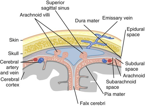 Neurologic anatomy and physiology nurse key figure 22 6 the meninges coronal section through the superior sagittal sinus from black jm hawks jh medical surgical nursing clinical management for ccuart Choice Image