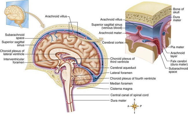 Neurologic anatomy and physiology nurse key the fluid produced by filtration of blood by the choroid plexus of each ventricle flows inferiorly through the lateral ventricles interventricular foramen ccuart Choice Image