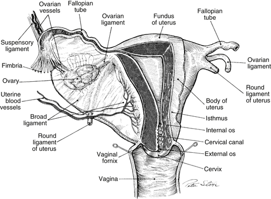 Reproductive anatomy physiology and the menstrual cycle nurse key front uterine wall has been removed so that the fallopian tube uterus cervical canal and vagina are seen as a continuous channel sciox Gallery