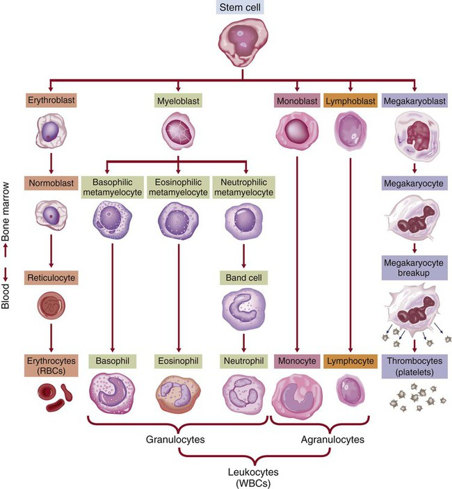hematologic system Anatomy and physiology review bone marrow is the source of all blood cells,  including immune system cells red blood cells (erythrocytes) white blood cells.