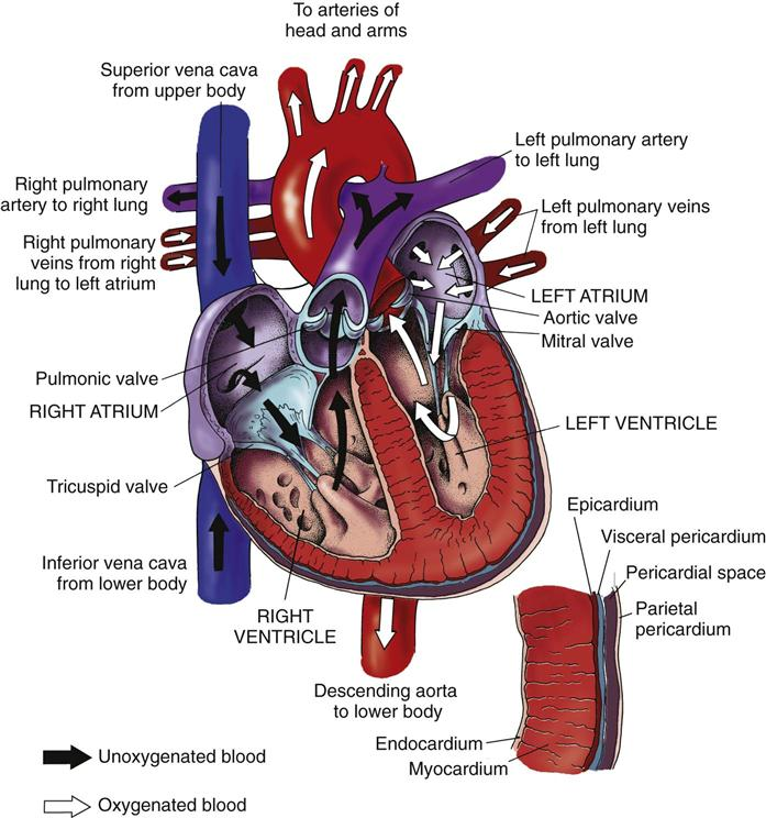 Assessment of the cardiovascular system nurse key heart ccuart