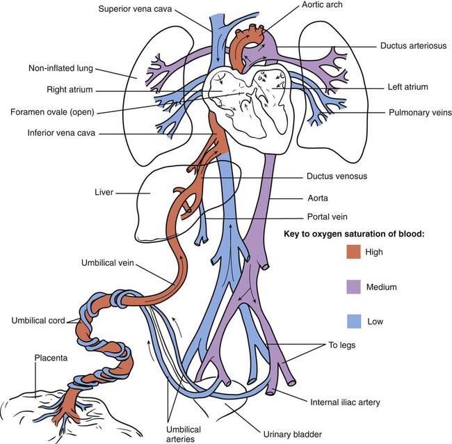 fetal ductus venosus - photo #13