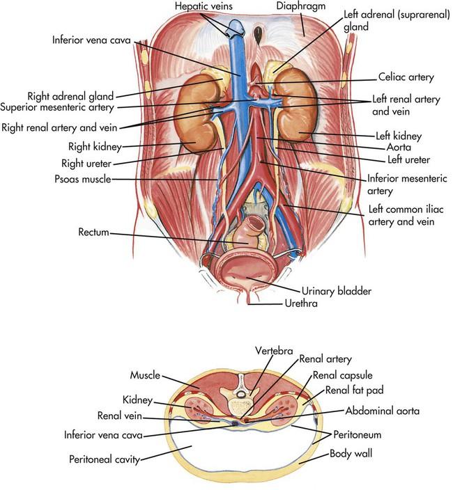 Urinary System   Nurse Key