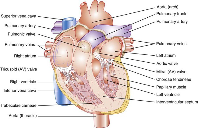 Circulatory system nurse key figure 12 3 internal view of the heart showing the chambers and valves ccuart Image collections