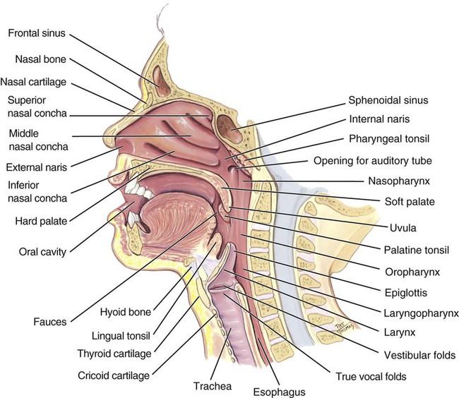 Upper Respiratory System Gallery - human anatomy organs diagram